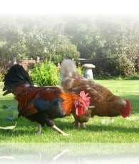 hens at the holiday cottage